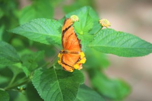 farfalla arancione
